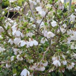 Prunus incisa 'Kojou-no-mai' - Fuji-kers