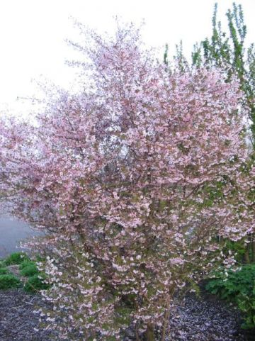 Prunus incisa 'Mikinori' - Fuji-kers