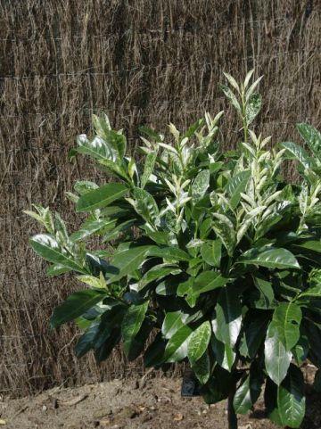 Prunus laurocerasus 'Ivory' - Bontbladige laurierkers