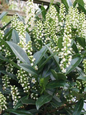 Prunus laurocerasus 'Otto Luyken' - Laurierkers