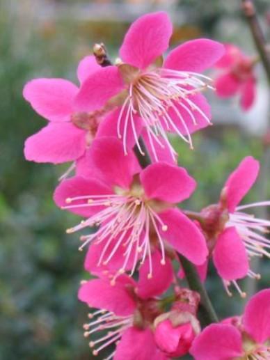 Prunus mume 'Beni-shi-dori' - Japanse abrikoos