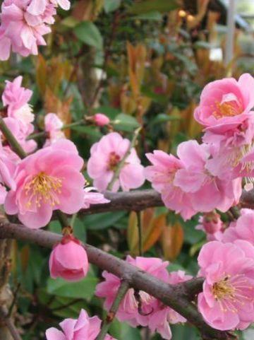 Prunus mume 'Pendula' - Japanse abrikoos