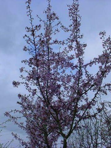 Prunus nipponica 'Ruby' - Sierkers