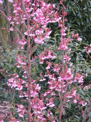 Prunus  'Okame' - Sierkers