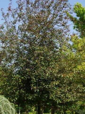 Prunus padus 'Colorata' - Roodbladige vogelkers