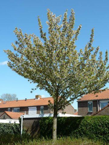 Prunus  'Pandora' -