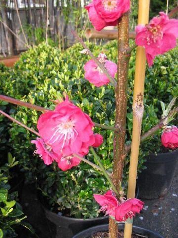 Prunus persica 'Melred' - Sierperzik