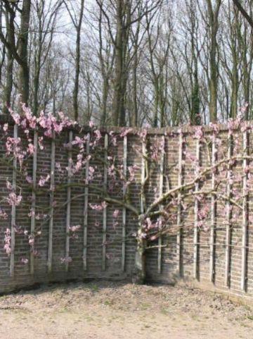 Prunus persica 'Peregrine' - Perzik