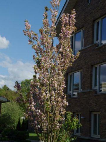 Prunus serrulata 'Amanogawa' - Japanse kers , Zuilvormige kers