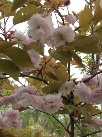 Prunus serrulata 'Fugenzo' - Japanse kers