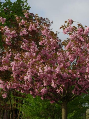 Prunus serrulata 'Pink Perfection' -