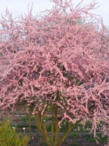 Prunus spinosa 'Rosea' - Sleedoorn