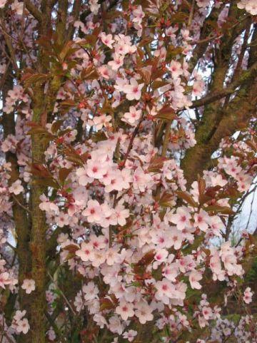 Prunus  'Spire' - Sierkers