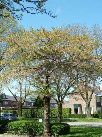 Prunus subhirtella 'Autumnalis' - Najaarskers
