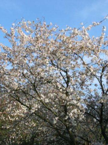 Prunus  'The Bride' - Sierkers