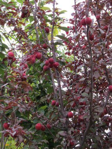 Prunus  'Trailblazer' - Sierkers