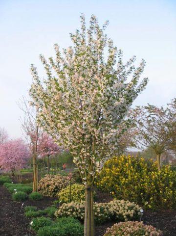 Prunus 'Umineko' - Sierkers