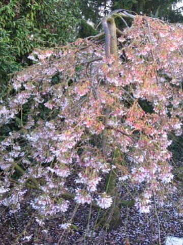 Prunus yedoensis 'Ivensii' - Treurkers