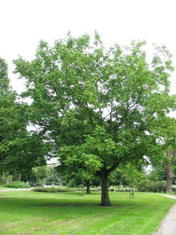 Pterocarya fraxinifolia  - Kaukasische vleugelnoot