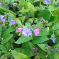 Pulmonaria angustifolia  - Smalbladig longkruid