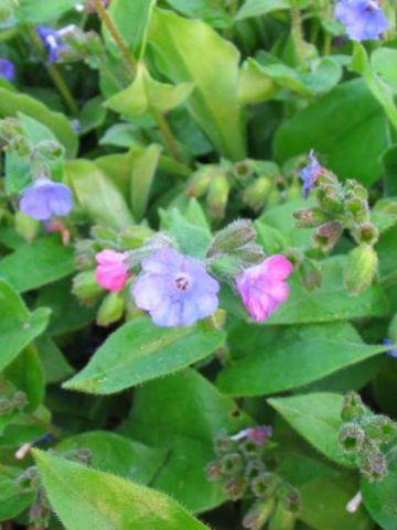 Pulmonaria angustifolia  - Smalbladig longkruid