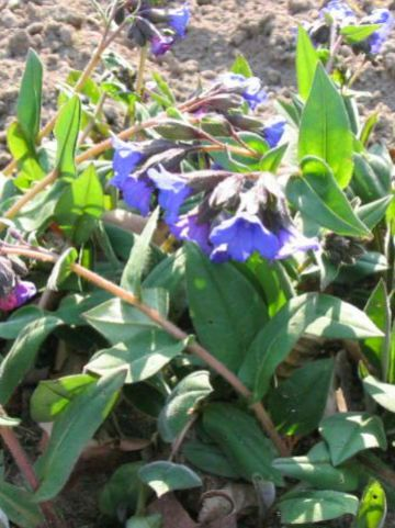 Pulmonaria 'Blue Ensign' - Longkruid