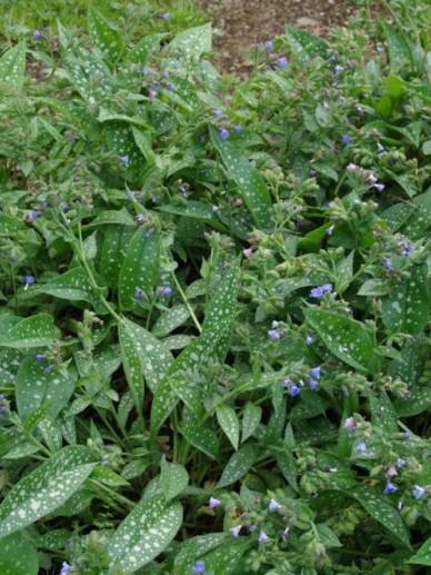 Pulmonaria longifolia  - Longkruid