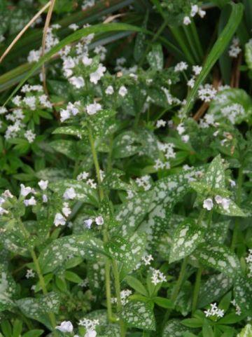 Pulmonaria angustifolia 'Sissinghurst White' - Longkruid
