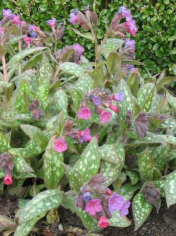 Pulmonaria saccharata 'Mrs. Moon' - Longkruid