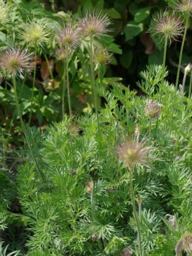 Pulsatilla vulgaris 'Alba' - Wildemanskruid