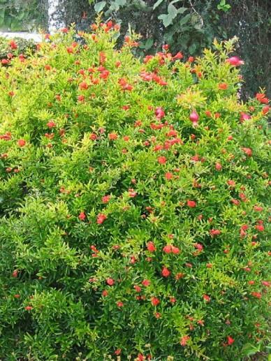 Punica granatum 'Nana' - Granaatappel