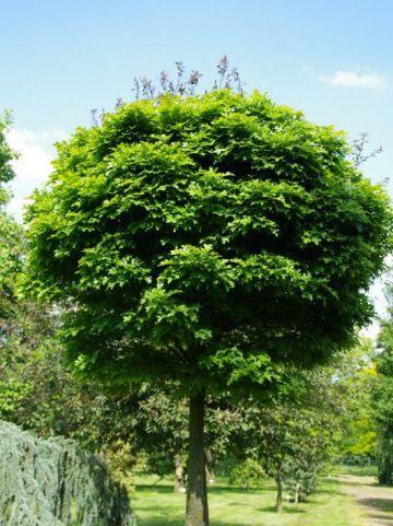 Quercus palustris 'Green Dwarf' - Bolmoeraseik