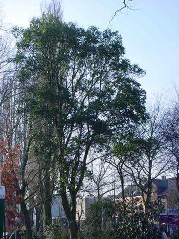 Quercus × turneri  'Pseudoturneri' - Groenblijvende eik