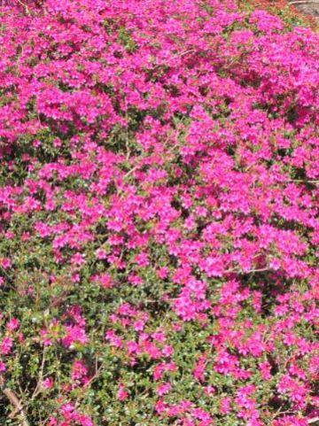 Rhododendron  'Amoenum' - Japanse azalea