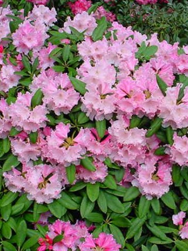 Rhododendron  'André' - Dwergrododendron