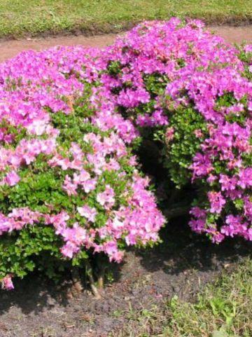 Rhododendron  'Anne Frank' - Japanse azalea