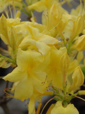 Rhododendron  'Anneke' - Tuinazalea