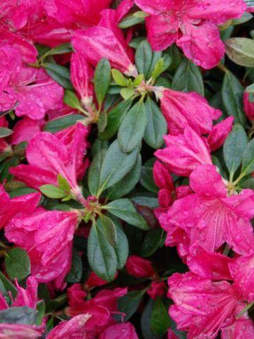 Rhododendron  'Arabesk' - Japanse azalea