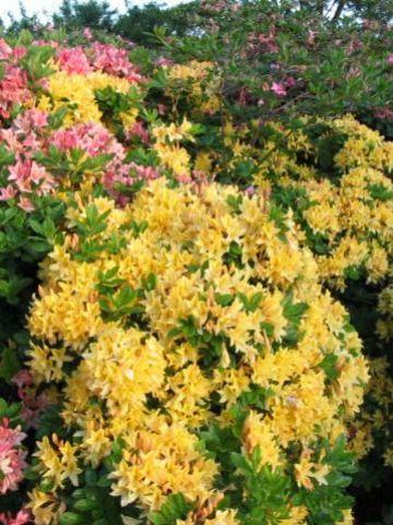 Rhododendron  'Arpège' - Tuinazalea