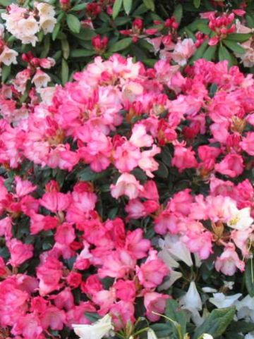 Rhododendron  'Bambi' - Dwergrododendron