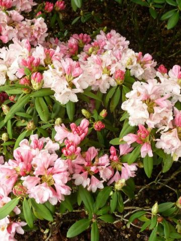 Rhododendron  'Bashful' - Dwergrododendron