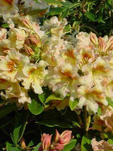 Rhododendron  'Bernstein' - Tuinrododendron