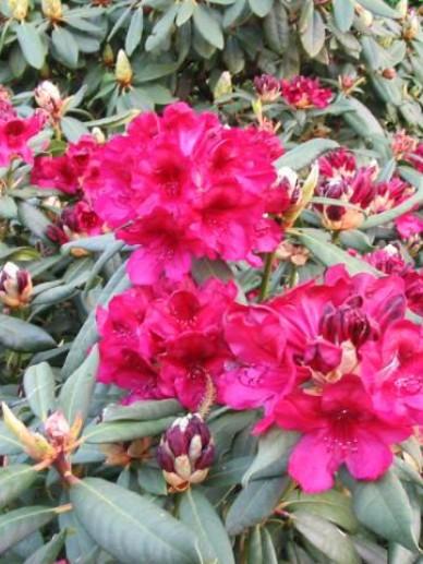 Rhododendron  'Black Sport' - Tuinrododendron