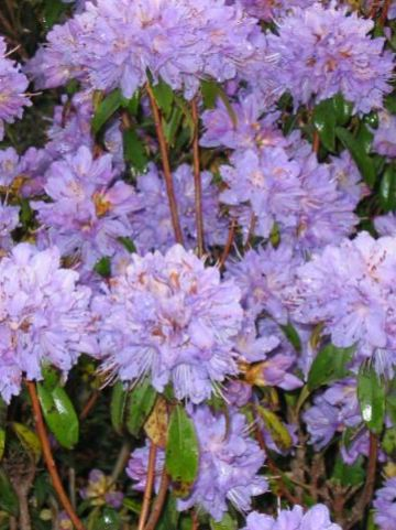 Rhododendron  'Blue Diamond' - Dwergrododendron