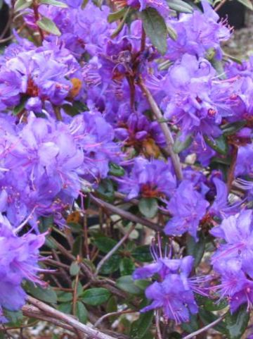 Rhododendron  'Blue Tit' - Dwergrododendron