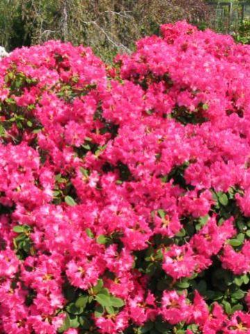 Rhododendron  'Bremen' - Dwergrododendron