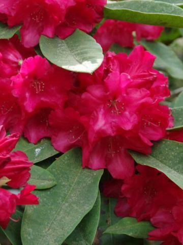 Rhododendron  'Britannia' - Tuinrododendron