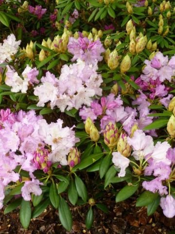 Rhododendron  'Caroline Allbrook' - Dwergrododendron