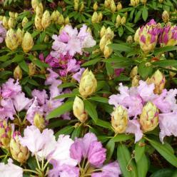 Rhododendron  'Caroline Allbrook' - Dwergrododendron