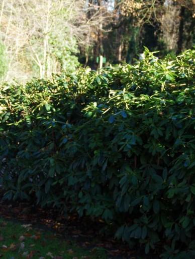 Rhododendron  'Catawbiense Grandiflorum' - Tuinrododendron